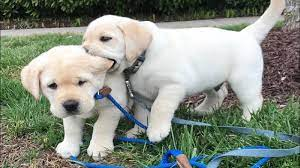 Everything You Wanted to Know About Labrador Puppies